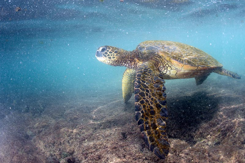 If you're lucky, you may see a Hawaiian green sea turtle, or honu, on your snorkeling excursion. Just remember to keep your distance. Andrea Izzotti/Shutterstock.com